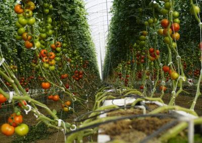 plantacion invernadero