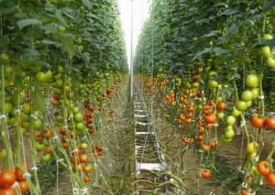 tomates colgando