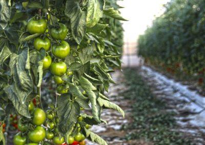 plantas de tomates